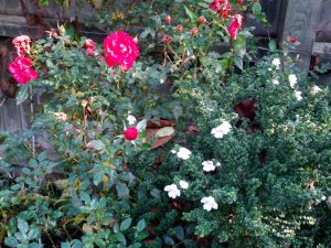 Prostanthera cuneata and rose from original garden